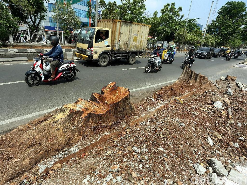 Pohon Besar di Kawasan Kedoya Jadi Korban Revitalisasi Trotoar