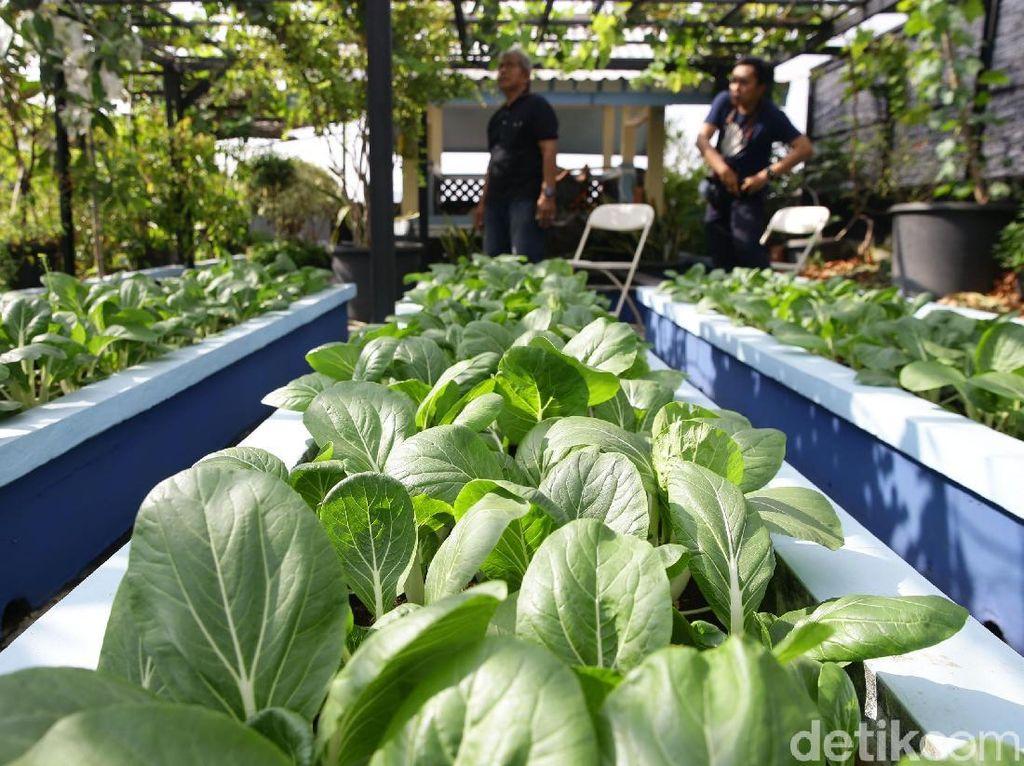 Pandemi Corona, Masyarakat Bisa Hasilkan Uang Lewat Urban Farming