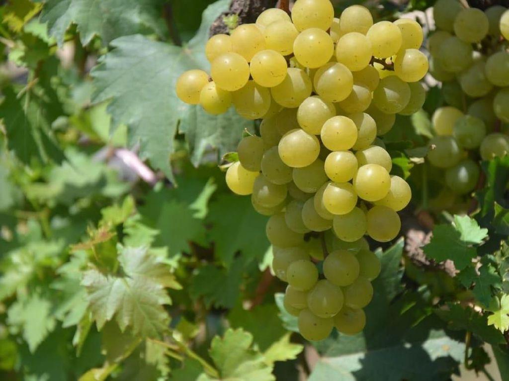 Wow! Jan Ethes Jadi Nama Jenis Anggur Baru di RI