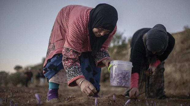 In this Tuesday, Nov. 5, 2019 photo, women pick Saffron flowers at dawn during harvest season in Askaoun, a small village near Taliouine, in Morocco's Middle Atlas Mountains. The saffron plants bloom for only two weeks a year and the flowers, each containing three crimson stigmas, become useless if they blossom, putting pressure on the women to work quickly and steadily. (AP Photo/Mosa'ab Elshamy)