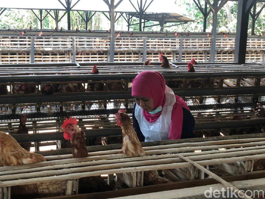 Gubernur Khofifah Jamin Telur Produksi Jatim Aman Dikonsumsi
