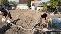 Warga Lamongan Tangkap Ular Sanca Kembang 15 Kg di Kolam Lele