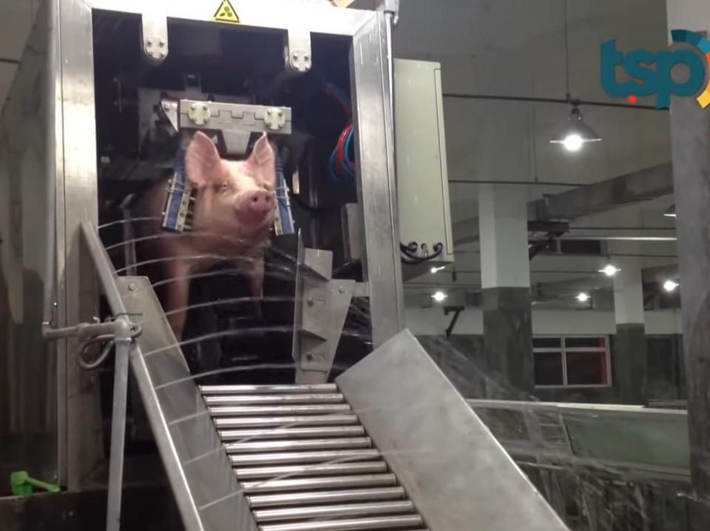 Setrum Babi Sebelum Disembelih hingga Tren Floating Breakfast ala Sultan