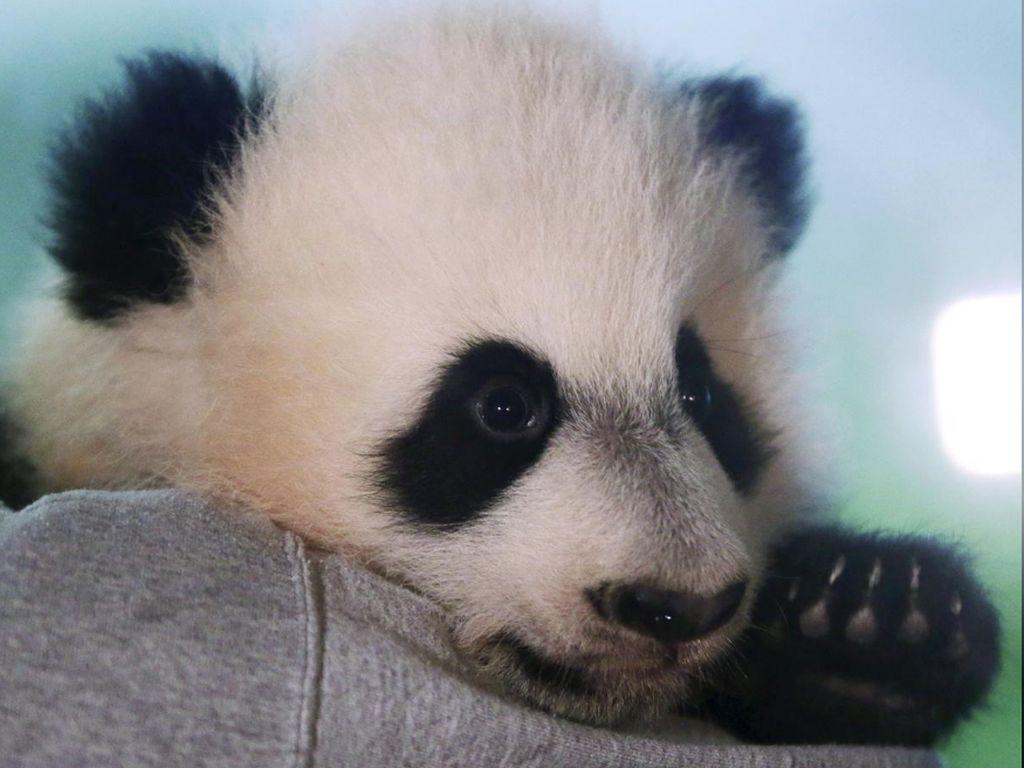Bei Bei, Panda Raksasa yang Terbang Naik Jet Pribadi