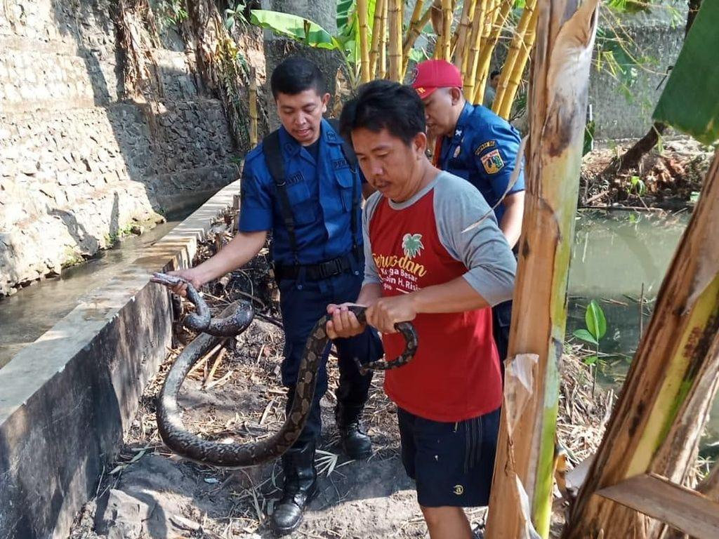 Ular Sanca 3 Meter Dievakuasi dari Selokan di Jagakarsa Jaksel