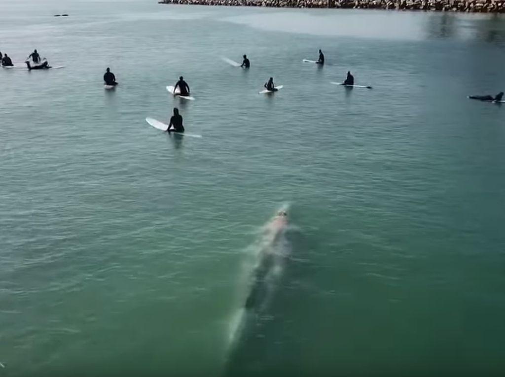 Terekam Drone: Paus Berenang di Antara Para Peselancar