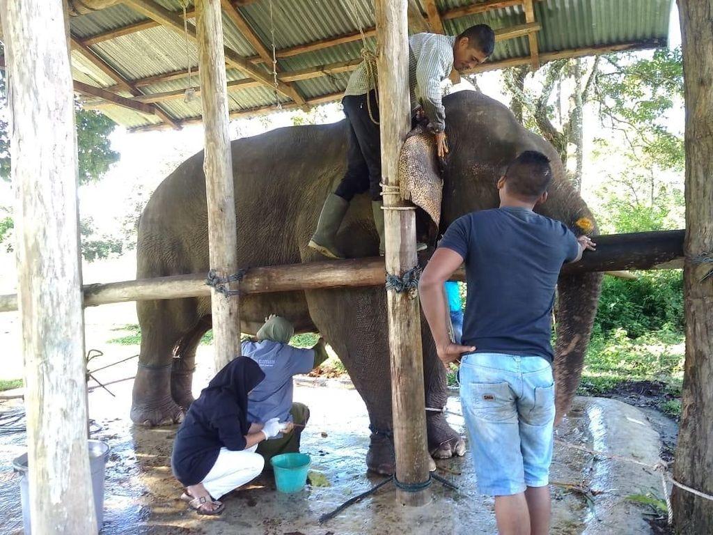 BKSDA Evakuasi Gajah Jinak yang Terluka Diserang Gajah Liar