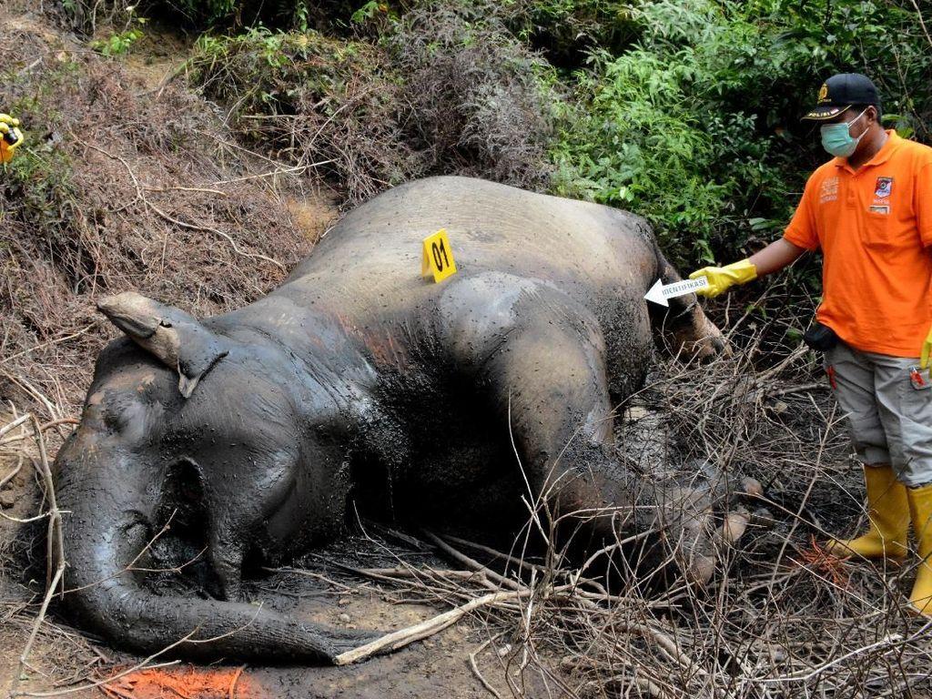 Miris! Gajah Sumatera Mati Diracun di Aceh Timur