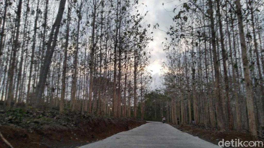 Foto: Kebun Jati yang Lagi Ngehits di Ciamis