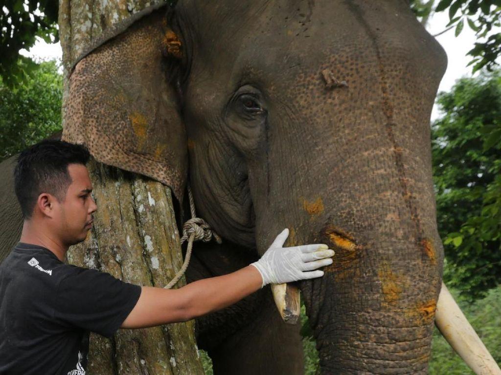Pengobatan Gajah yang Terluka di Aceh