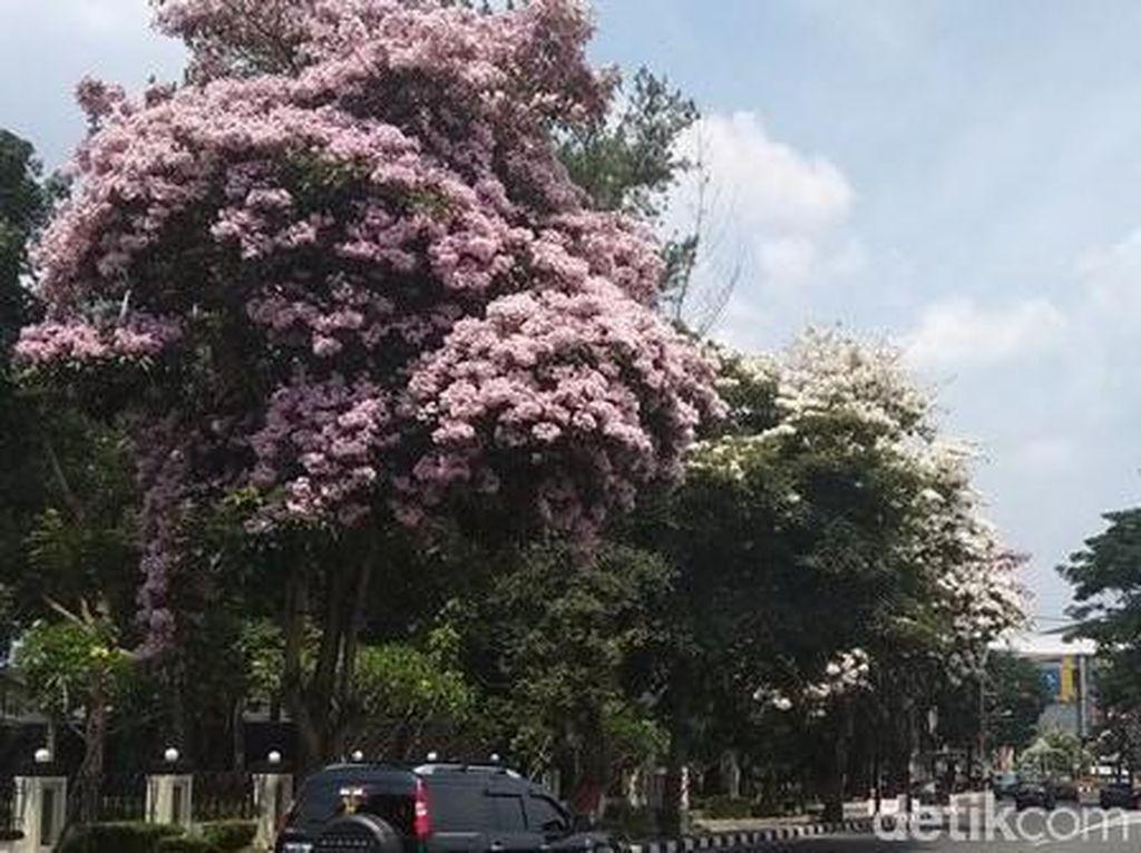 Indahnya Bunga Tabebuya Saat Mekar di Kota Magelang