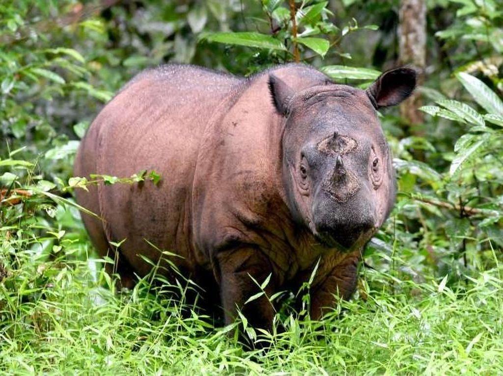 Iman Mati, Badak Sumatera Punah di Malaysia