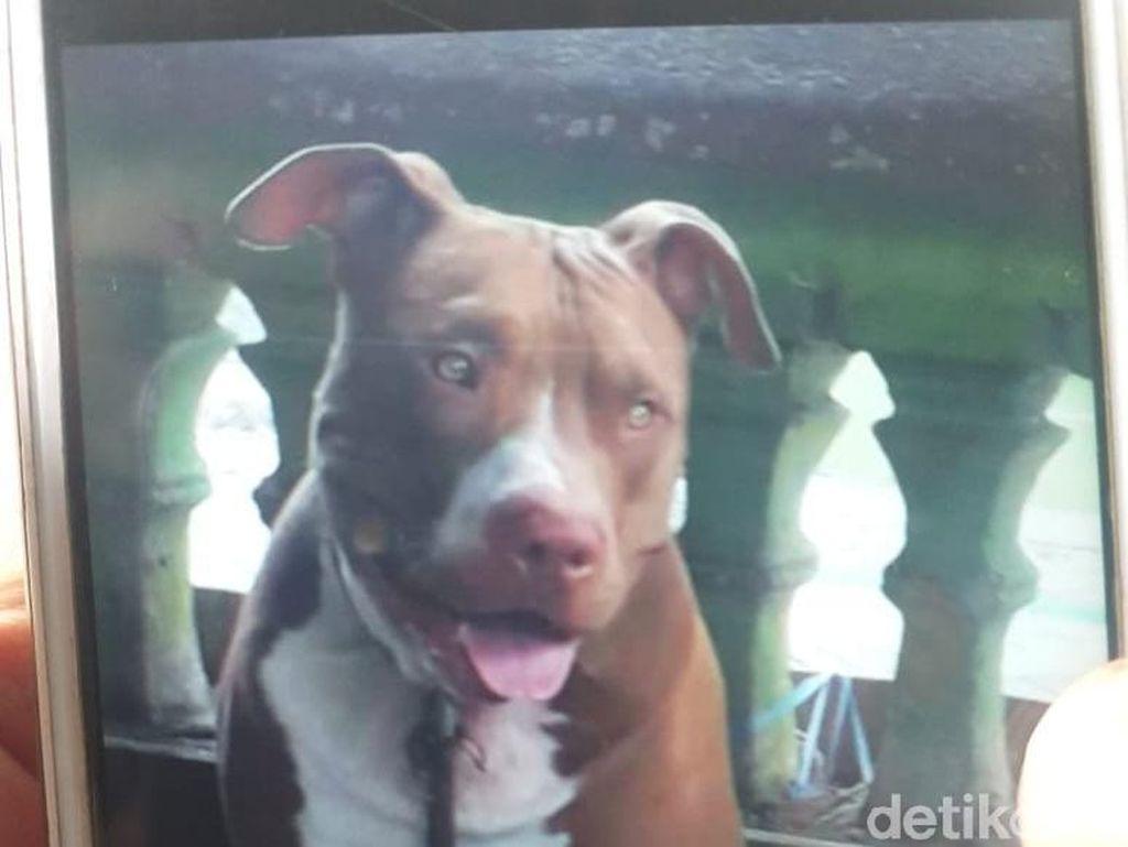 Serang Manusia di Medan-Makassar, Bagaimana Tingkah Laku Anjing Pitbull?
