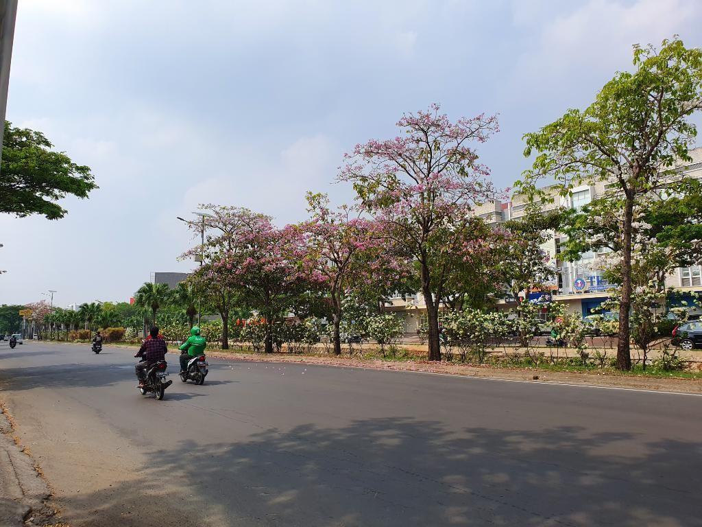 Bukan Sakura, Bunga yang Tumbuh di Bekasi Ternyata Tabebuya