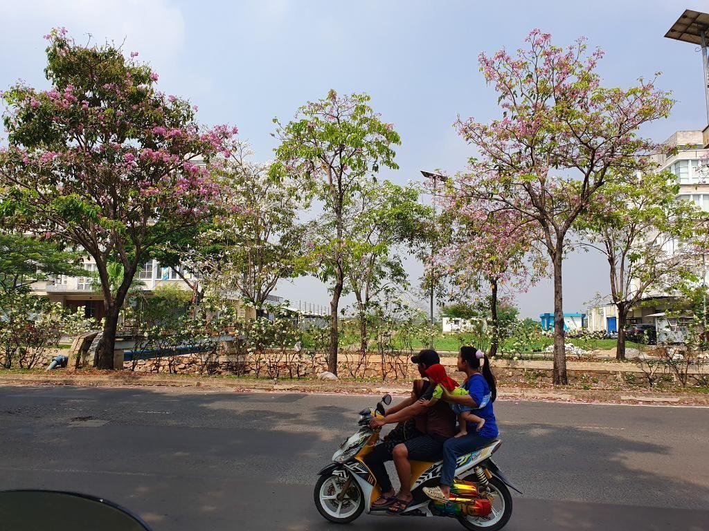 Percantik Kota Bekasi, Pemkot Targetkan Tanam 1.000 Pohon Tabebuya