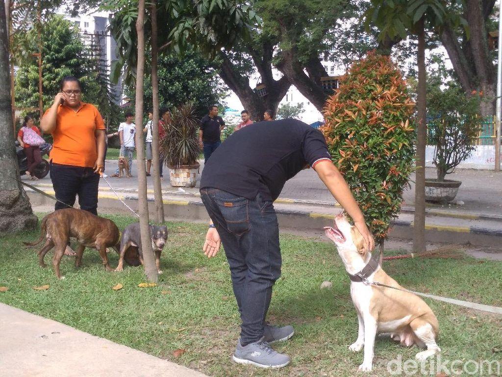 Tips Pelihara Anjing Pitbull Agar Tak Serang Manusia