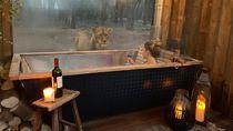 Foto: Kayak Gini Nih Bermalam Bareng Singa di Kamar Hotel