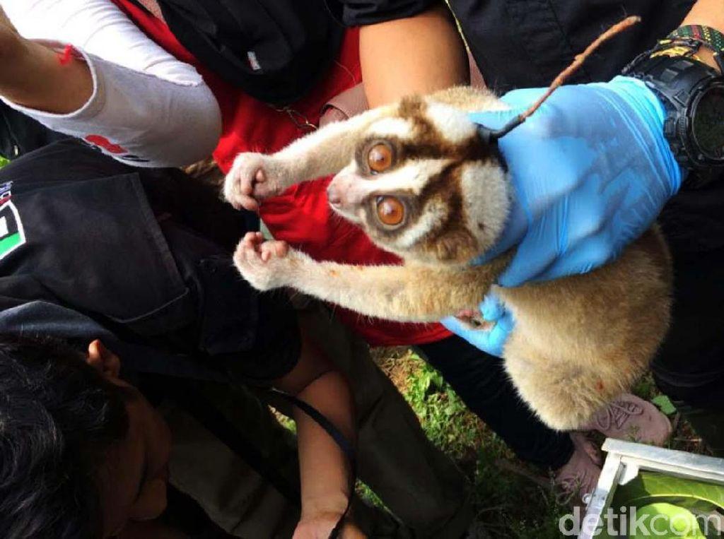 10 Ekor Kukang Jawa Dilepas ke Habitatnya