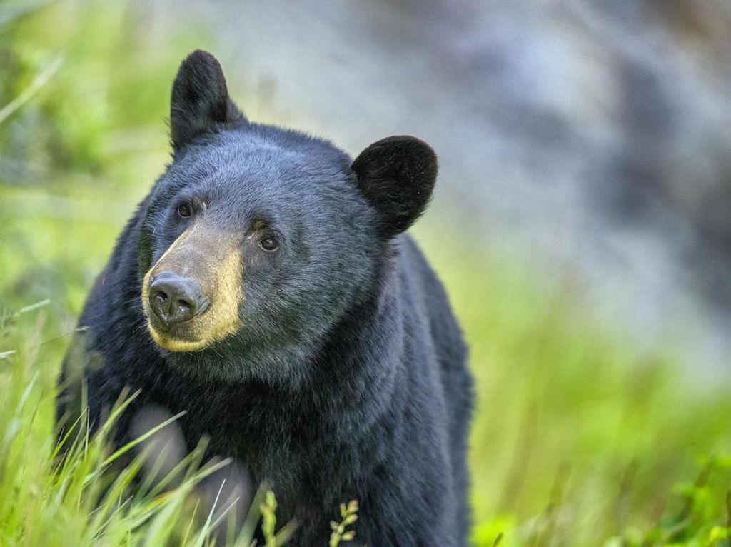 Efek Lockdown, Bisa Melihat 2 Anak Beruang Bergulat Bebas