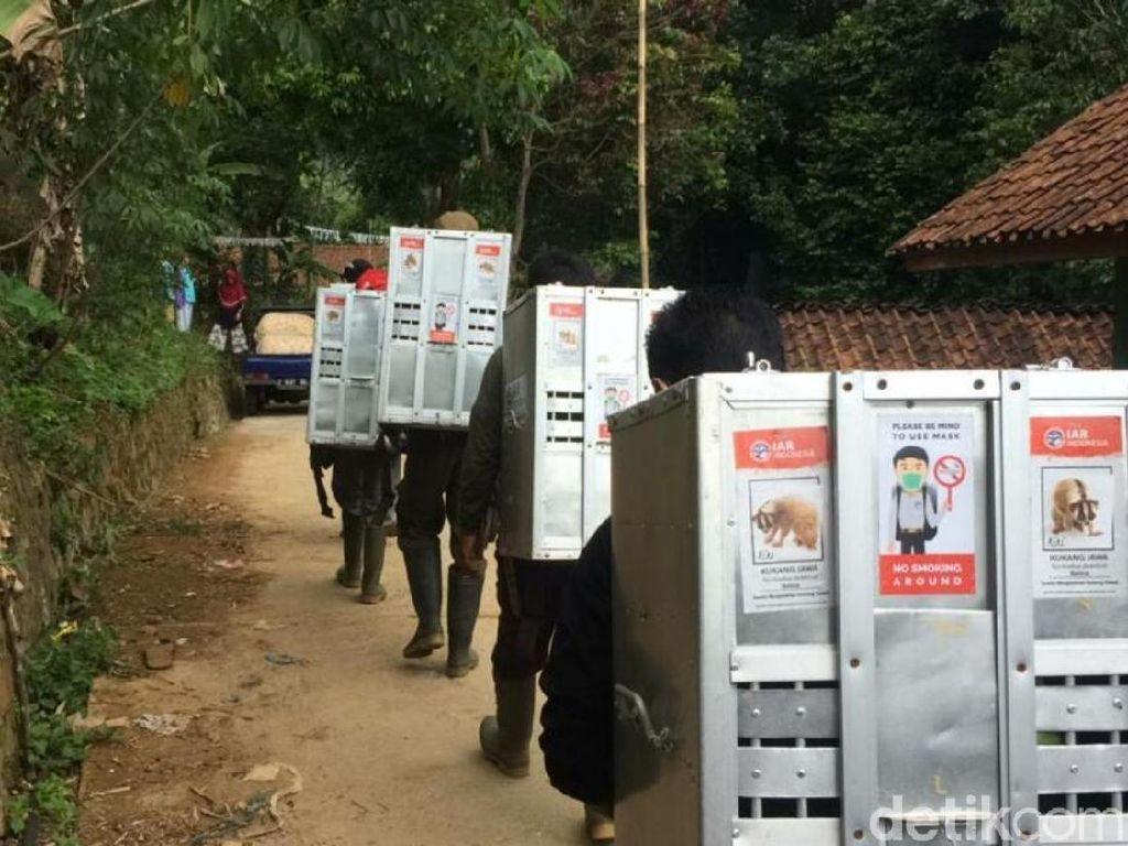 Melihat Proses 10 Kukang Jawa Dilepasliarkan di Gunung Sawal Ciamis