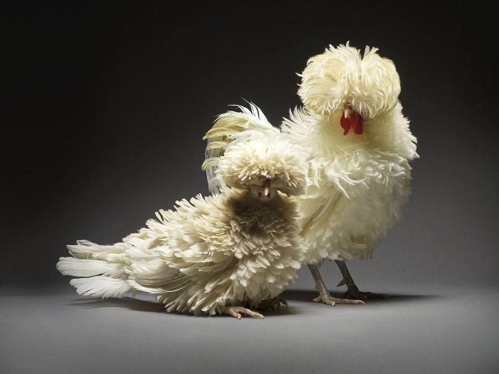 Rayakan Keberagaman Cinta, Fotografer Ini Pakai Ayam untuk Foto Romantis
