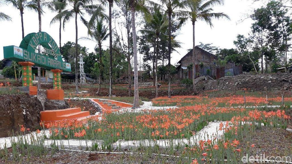 Potret Kebun Bunga Amarilis Layu, Banyak Wisatawan Kecele