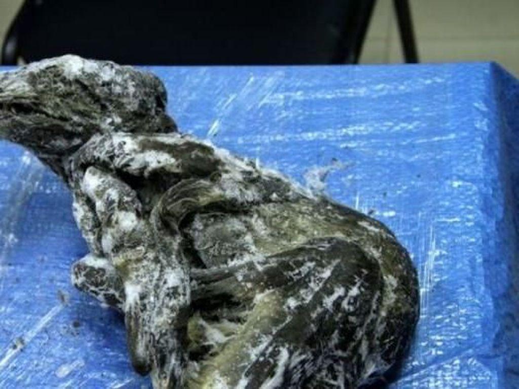 Bangkai Anjing Berusia 18.000 Tahun Ditemukan di Rusia dalam Kondisi Utuh