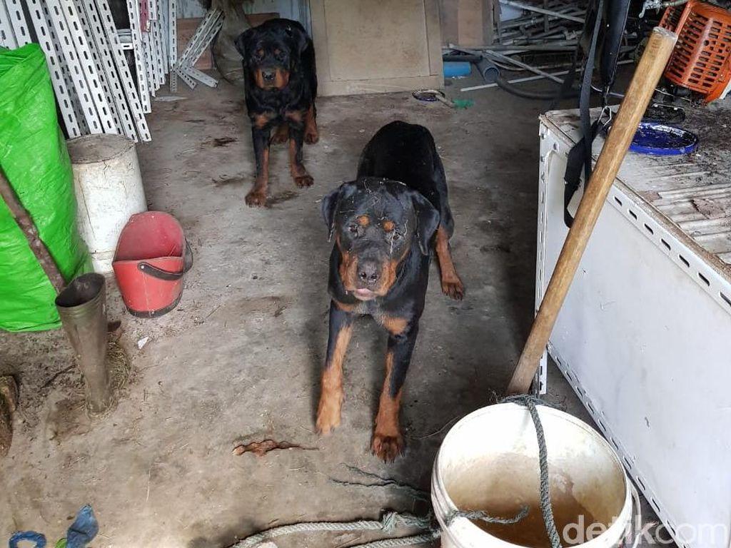 Pria Diduga Pencuri di Sergai Sumut Tewas Diserang 4 Anjing Rottweiler