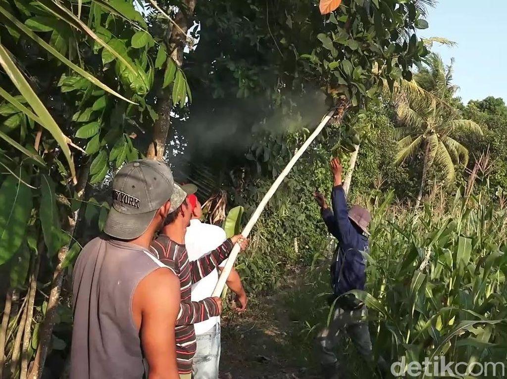 Di Banyuwangi, Larva Tawon Vespa Diolah Jadi Kuliner Penambah Stamina