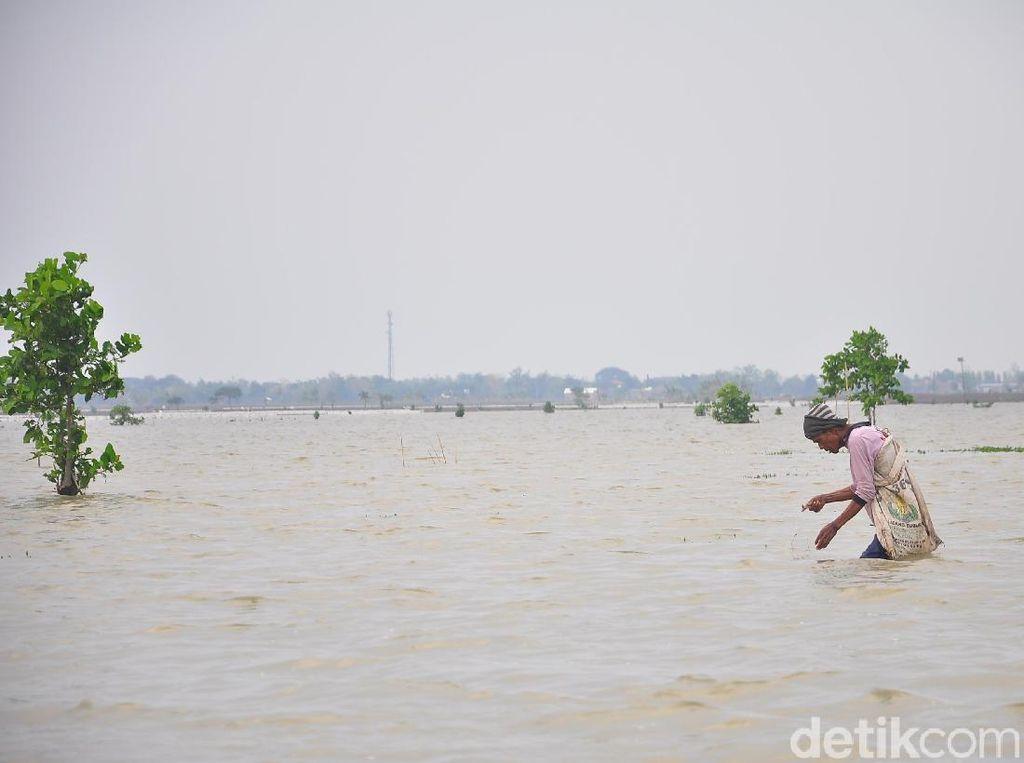 325 Hektare Sawah Terendam Air Limpasan Sungai di Kudus