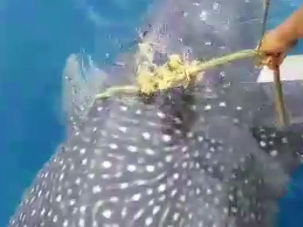 Hiu Paus Tersangkut Jaring Nelayan di Gorontalo