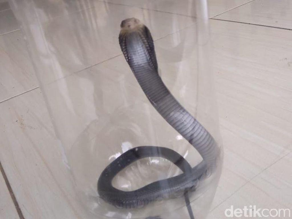 Teror Kobra di Citayam, Total 29 Anak Ular Ditangkap