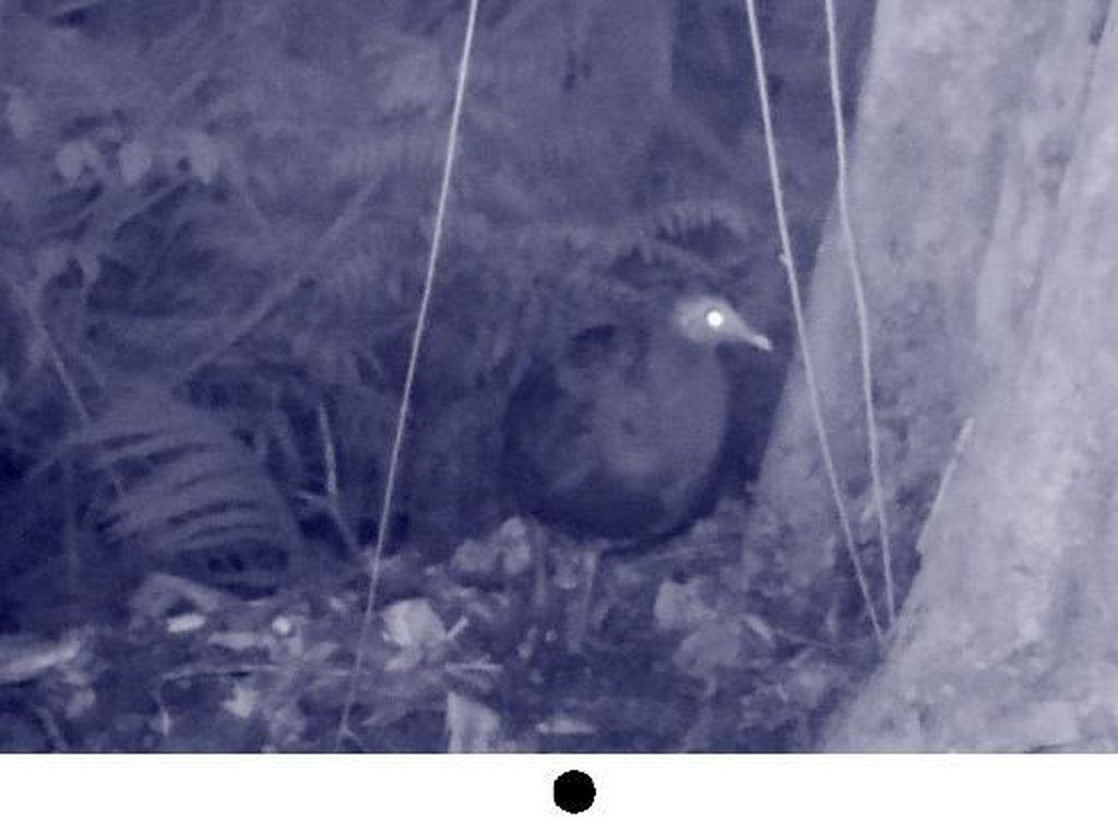 Foto: Spesies Burung Langka Ditemukan di Sulawesi Selatan