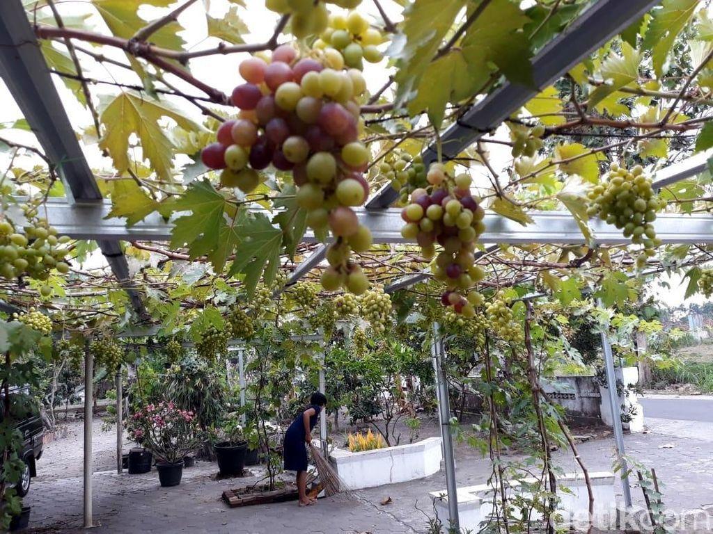 Kisah Perjuangan Mantan Guru Dirikan Kampung Anggur di Bantul