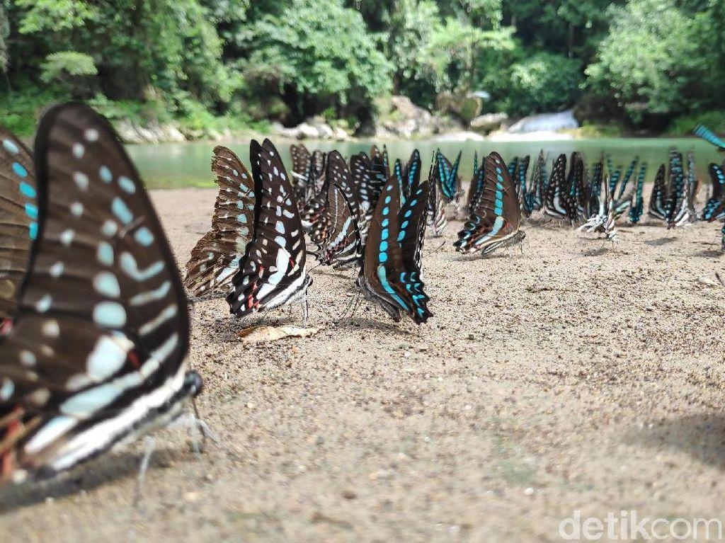 Fenomena Langka Berkumpulnya Ribuan Kupu-kupu di Bantimurung