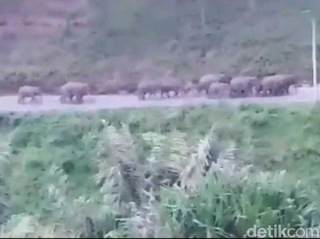 20 Gajah Liar Turun ke Jalanan di Aceh