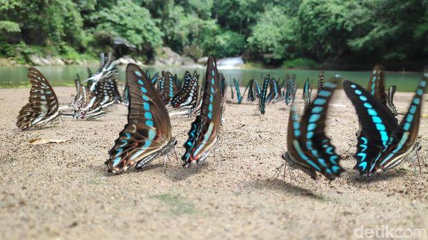 Butterflies in Bantimurung Park