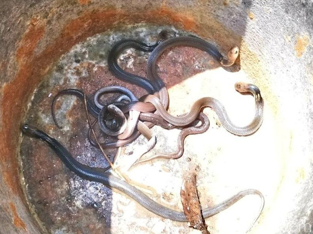 Teror Belasan King Cobra di Warung Mi Ayam yang Bikin Penghuni Mengungsi