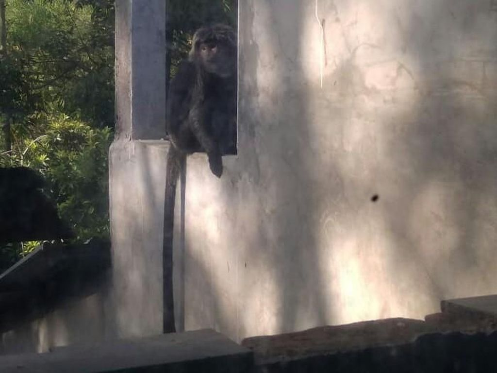 Monyet Liar Masuk Permukiman di Kudus, Serang Kebun dan Rusak Perabotan