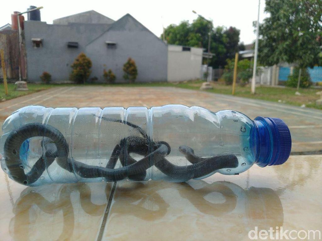 Induk Ular Kobra Belum Ditemukan, Warga Citayam Tunggu Bantuan