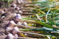 How to grow garlic.