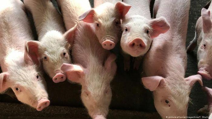 Kenaikan Harga Daging Babi Akibat Wabah Picu Inflasi Ritel di Cina