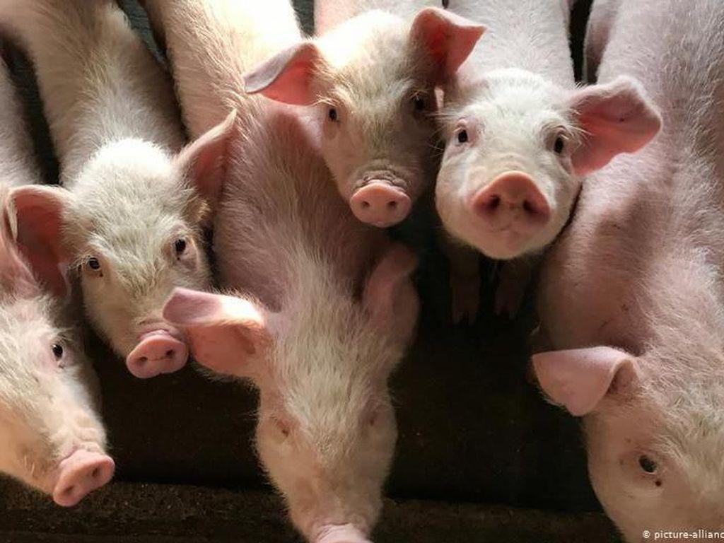 Anggaran Pengadaan Babi Rp 5 M Disoal DPR: Seekor Rp 9 Juta?