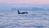 Mau Berenang Bareng Paus Pembunuh? Coba Liburan ke Tempat Ini