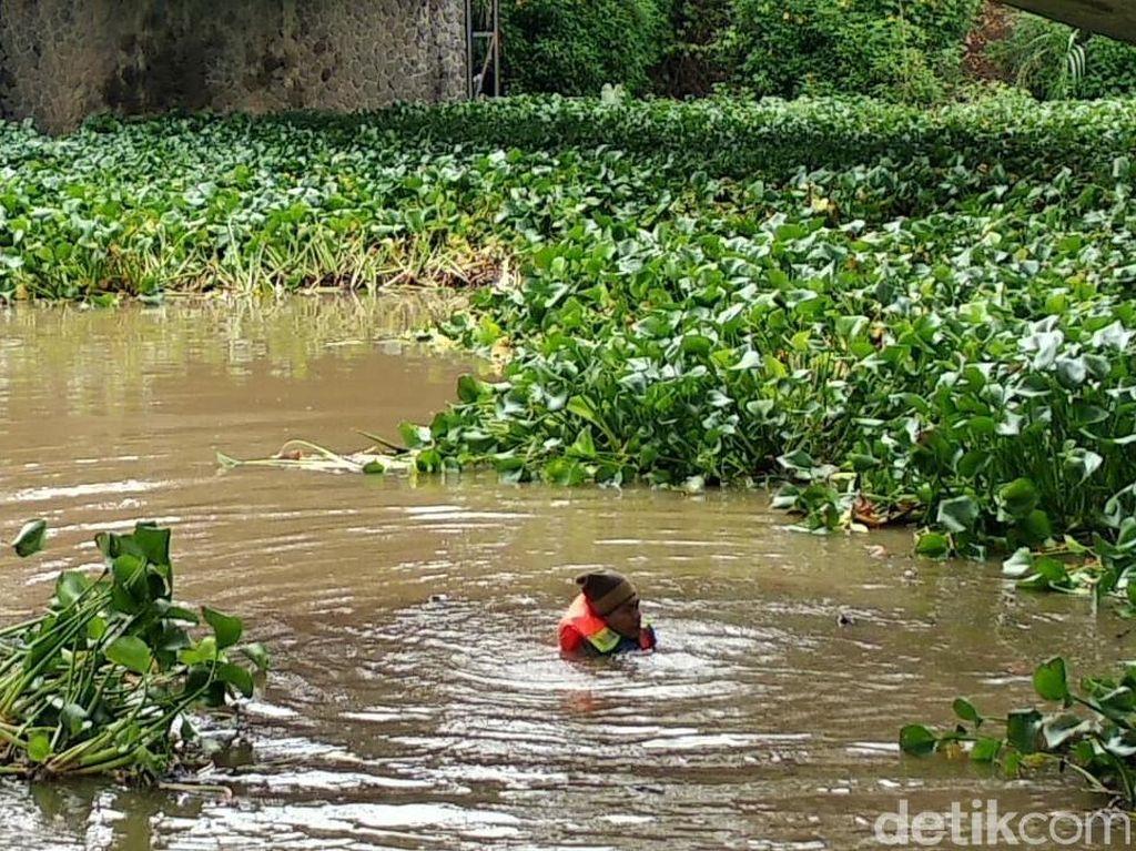 Ribuan Kilo Eceng Gondok di Sungai Cimanuk Dibersihkan