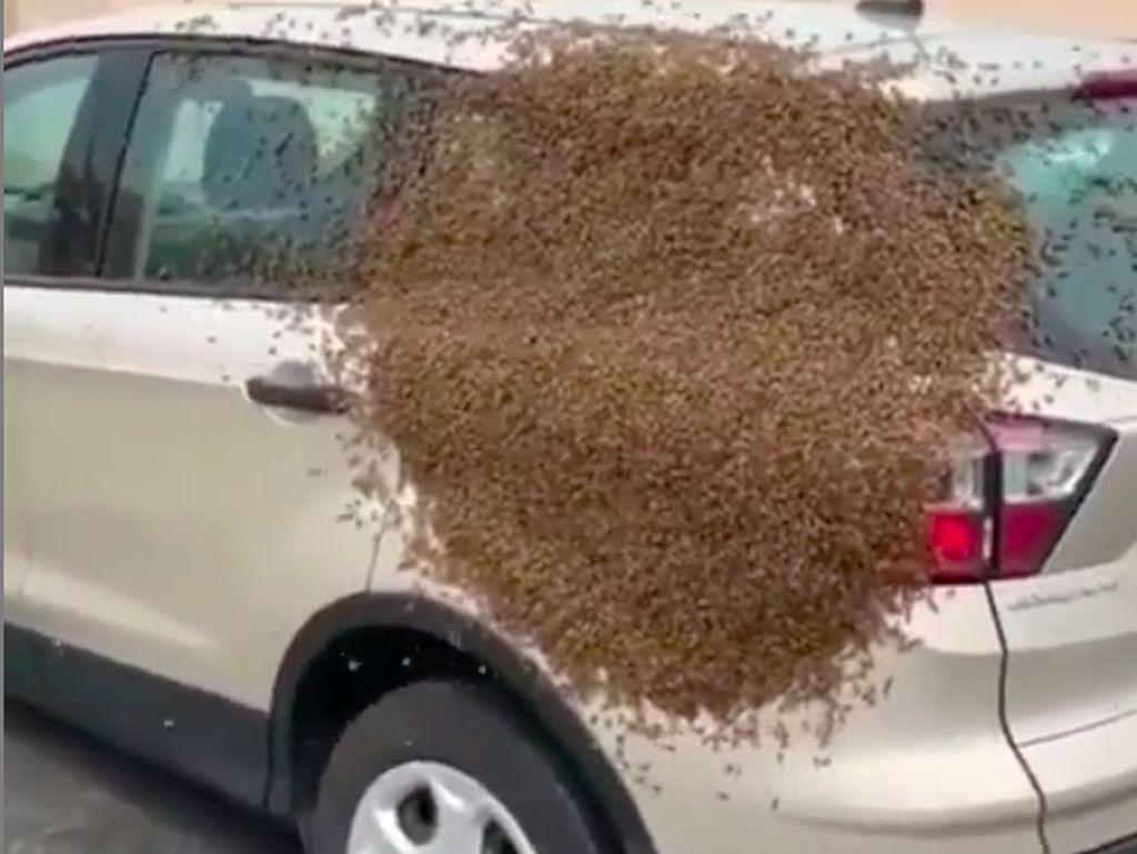 Waduh! Mobil Ini Diserbu Lebah