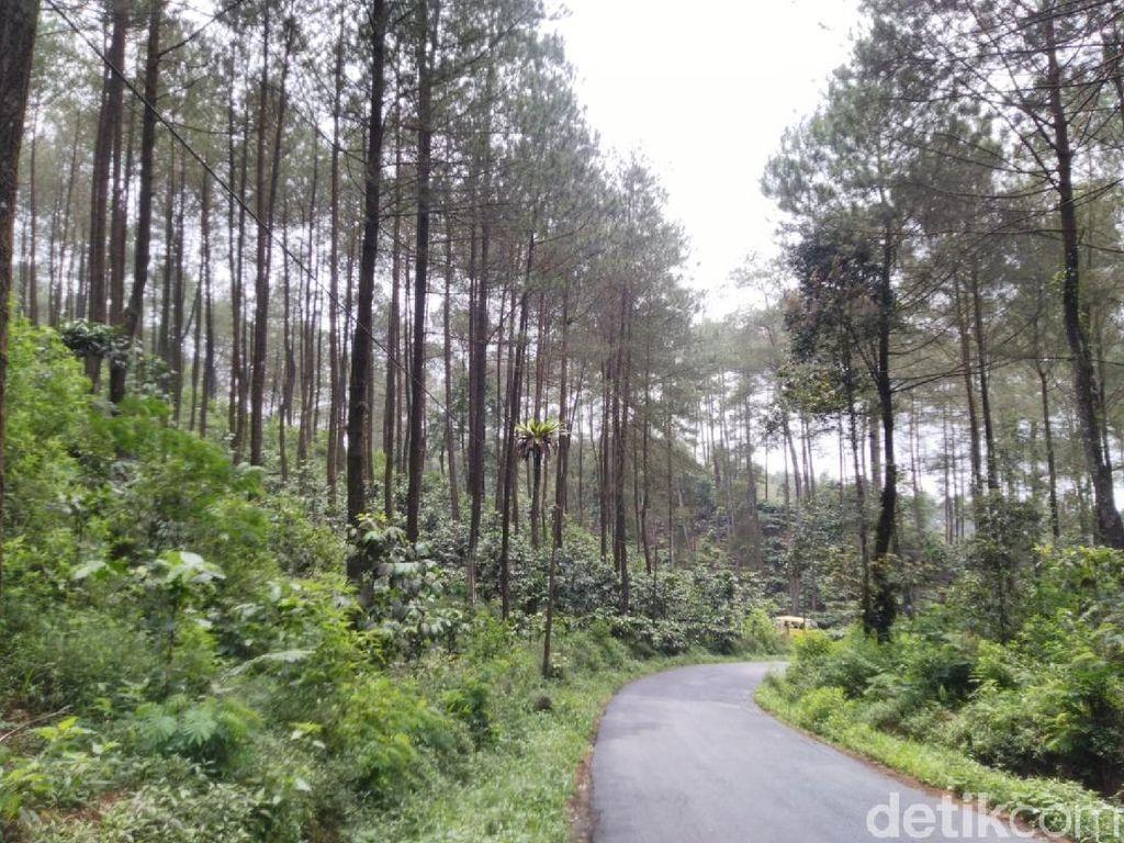 Potret Hutan Pinus Puncak Jahim, Segar dan Cantik!