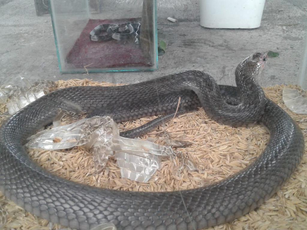 Horor! Ular Kobra Juga Nyusup ke Kamar Bayi di Gunungkidul