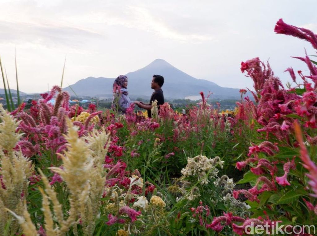 Indahnya Taman Bunga Berlatar Tiga Gunung di Pasuruan