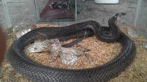 Teror Kobra di Jateng, Susupi Warung Mi Klaten-Rumah di Gunungkidul